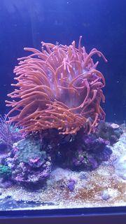 Meerwasser Seeanemone