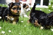 Carrier Yorkshire Terrier