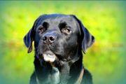 Labrador Retriever Deckrüde