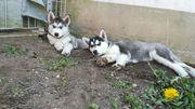 2 wunderschöne sibirische