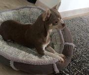 Chihuahua Lilac Husky