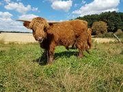 Highland Cattle Färsen