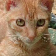 Katzenbabys 9 Wochen Maine Coon
