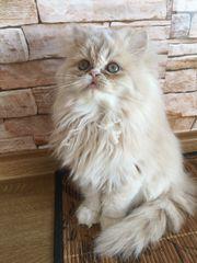süßes Perser Kätzchen