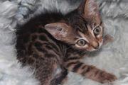 Bengalen Kitten Mix