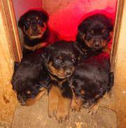 7 Rottweilerwelpen zu verkaufen