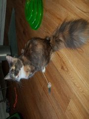 Maine Coon Katze Sunny sucht