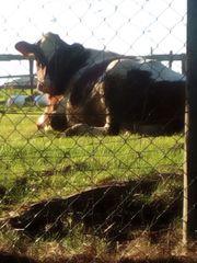 Fleckvieh / weibliche Holstein