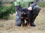 Toby-Deutsch Rottweiler zum Verkauf akc -