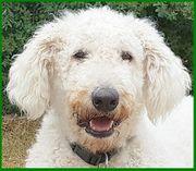 Macibär - 1 Jahr - Labrador-Hirtenhund-Mix - Tierhilfe