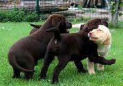 Blonde Braune und schwarze Labrador