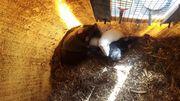 8 ausgewachsene Ratten