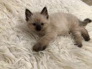 Ragdoll kitten mit
