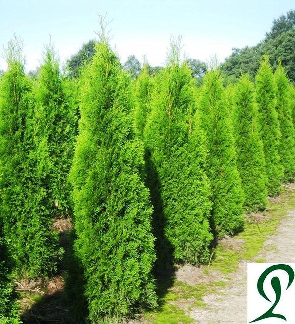 lebensbaum thuja smaragd 160 180cm heckenpflanzen vhb in wietmarschen pflanzen kaufen und. Black Bedroom Furniture Sets. Home Design Ideas