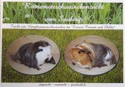 Rassemeerschweinchen aus liebevoller