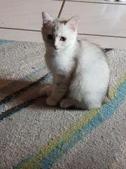 BKH-Mix kitten abzugeben
