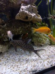 Synodontis Welse suchen