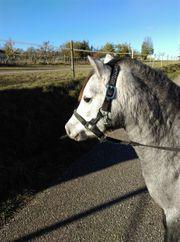 Sehr hübsches Welsh A Pony
