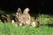 Serama Miniatur Hühner Hennen