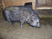 3 Minischweine abzugeben