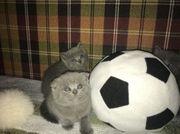 2 BKH Katzenbabys Kätzchen Katärchen