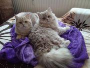 Selkirk Rex Kitten suchen ein