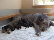 Süsse Irish Wolfhound