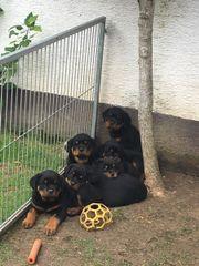 Rottweiler - Welpen (8