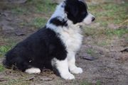 Limahl toller Border-Collie-Familienhund ca 3