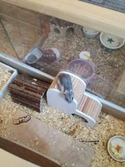 hamster Weibchen