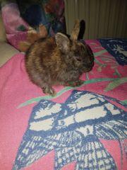 süße Zwerg Kaninchen