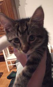 Katzenbaby Kitte 10 Wochen alt