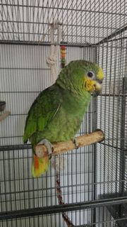 Venezuela Amazone - Papagei