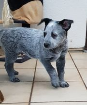 Bezauberne cattel dog Welpe