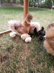 Küken Zwergseidenhühner