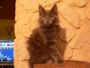 Main-coon Kitten